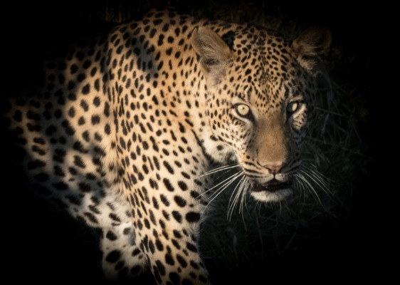 Leopard hunting in Botswana. Award winning photo in gallery in Durango, Colorado 2017