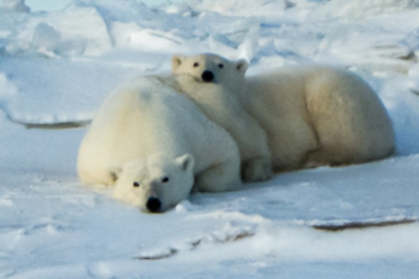 Polar bear with cub near Churchill, Manitoba